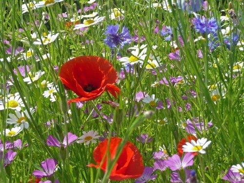 Just Seed Cornfield Annual Flower Special Mix Saatgut, Wildblumen-Mischung, 4g