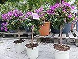 Bougainvillea glabra 'Alexandra' auf Stamm 80 cm, purpurviolett, Kletterpflanze