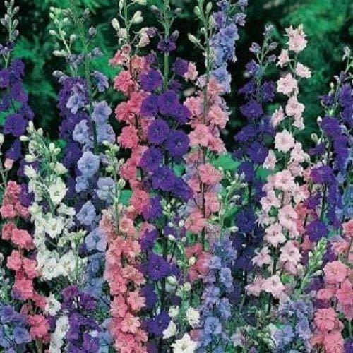 Portal Cool Rakete Rittersporn Blumensamen/Delphinium / Jahr 30 +