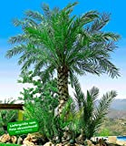 BALDUR-Garten Chilenische Honig-Palmen, 1 Pflanze, Jubaea chilensis