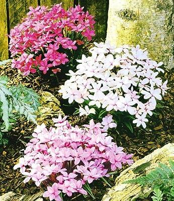 BALDUR-Garten Winterharter Bodendecker Grasstern Twinkle Star®, 3 Pflanzen im Mix von Baldur-Garten auf Du und dein Garten