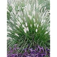 Gräser Garten suchergebnis auf amazon de für stauden gaenge gräser garten