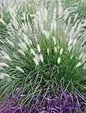 1 x Pennisetum alopecuroides 1 Liter (Ziergras/Gräser/Stauden) Lampenputzergras ab 3,19 pro Stück