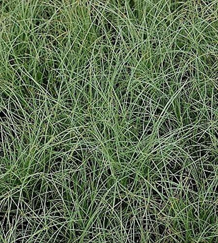 OBI Hellgrüne Blattfärbung, grüne Blütenwedel