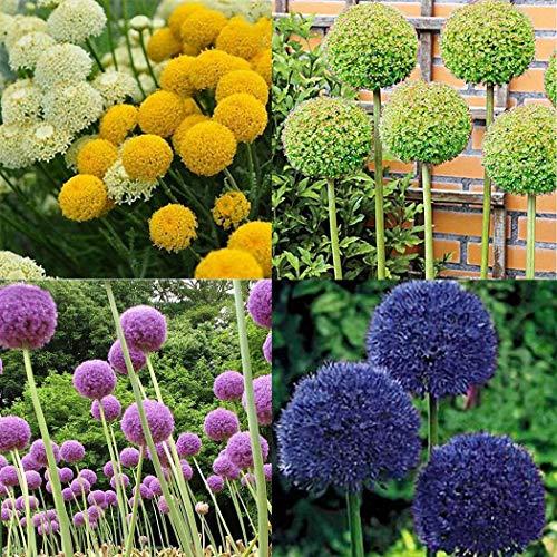 Ultrey Samenshop - 30 Stück Exotic Riesen Zierlauch Samen(Allium giganteum) Blumensamen Blumenzwiebeln Saatgut winterhart mehrjährig für Garten Balkon/Terrasse
