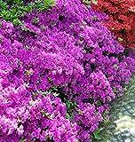 Japanische Azalee Blue Danube 20-25cm - Rhododendron obtusum - Zwerg Alpenrose