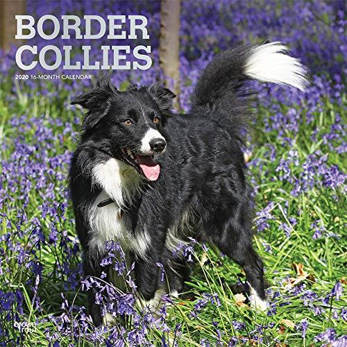 Border Collies 2020 - 16-Monatskalender mit freier DogDays-App: Original BrownTrout-Kalender [Mehrsprachig] [Kalender] (Wall-Kalender) -