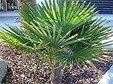 RARITÄT Frostharte Hanfpalme Trachycarpus Ukhrulensis Größe 60-80 cm. aus dem Gebirge von Manipur bis - 20 Grad