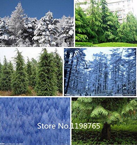 2016 Hot 1 Professional Pack (100pieces / lot) Cedar Graines Bonsai Tree Cedar Tree Seeds Perennial Green Pine Graines