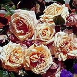 lichtnelke - Kletterrose 'BAROCK' Rose cremegelb mit apricot
