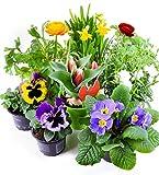 Frühlingsblumen Set 6, Ranunkeln, Narzissen, Tulpen, Nelken, Viola & Primeln