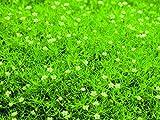 Sagina Scottish Moos - Sternmoos hellgrün - in Gärtnerqualität von Blumen Eber