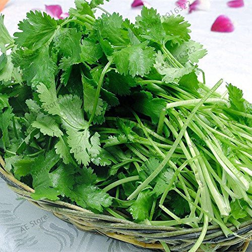 30pcs / sac résistant à la montaison grosses graines de coriandre feuilles de coriandre Graines Légumes bonsaïs de plantes non-OGM mis en pot pour la maison