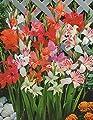 25 Zwerg Gladiolen gemischt Blumenzwiebeln (25 Zwiebeln) von Blumenhandel Ullrich auf Du und dein Garten
