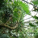 Philodendron bipinnatifidum (syn. selloum) (Split Leaf Philodendron) - 10 samen
