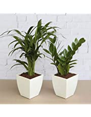 Ugaoo Air Purifier Indoor Plants For Home - Areca Palm & ZZ Plant