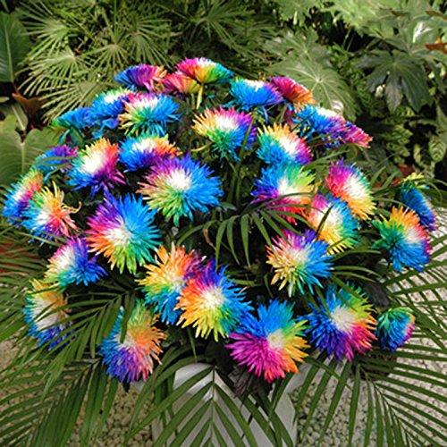 Ncient 20/50/100 Semillas de Margarita de Color Iris Bonsai de Jardín Semillas...