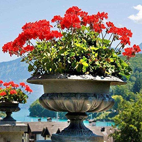 Masterein 100 pcs / sac graines de géranium en pot graines de plantes de fleurs pour la maison jardin graines de plantes