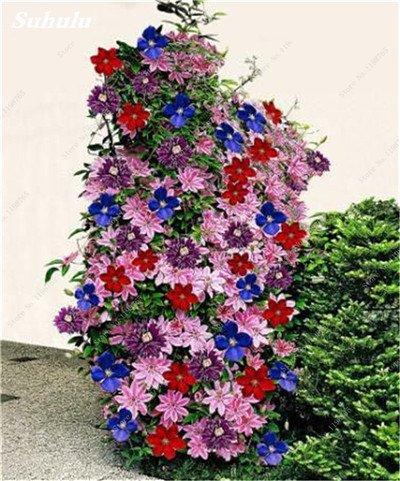 100 Pcs Clematis Graines de plantes Belle Paillage Graines de fleurs Bonsai ou un pot de fleurs vivaces pour jardin Mix Couleurs 13