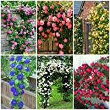 #7: Bee Garden (6 Varieties - 60 Seeds) Climbing Rose Flower Seeds (Red, Yellow, White, Pink, Purple, Blue)