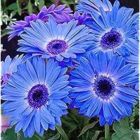 DaFFeng ?100Pcs / Pack Graines De Marguerite Gerbera Majorette Bleu Halo Parfum¨¦ Graines De Fleurs De Bellis