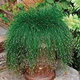 1 Packs professionnels, 10 graines / paquet, Isolepis cernua, Evergreen fibre optique Graines d'herbe, plus mystérieux cadeau