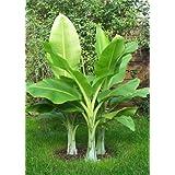 TROPICA - Tamaño Nieve plátano (Ensete glaucum syn. Ensete wilsonii) - 10 Semilla