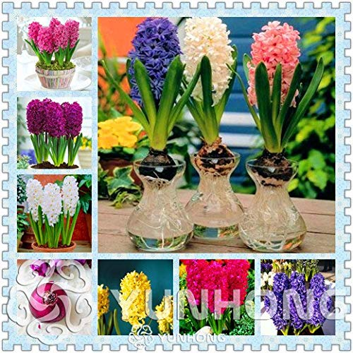 Green Seeds Co. Wahre Hyazinthe Glühbirnen, Wasserhyazinthe Blumenzwiebeln, mehrjährige Blumenzwiebeln, Bonsai Topf für Hausgarten Pflanzen – 1 Birne: 1
