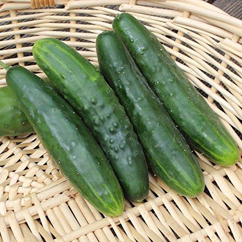 10 Samen Marketer Gurke – guter Ertrag, reich an Vitamin C