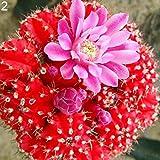 FOReverweihuajz 100Pcs Saftige Pflanzen Kaktussamen Home/Office/Balcony/Bonsai/Ornament Decor