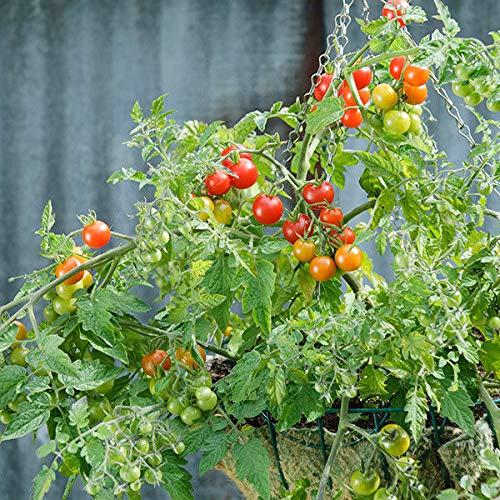 Portal Cool Gemüsesamen - Tomaten - Lizzano - 10 Samen