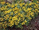 Dominik Blumen und Pflanzen, Staude Gelbe Bodendecker-Fetthenne, 5 Stauden