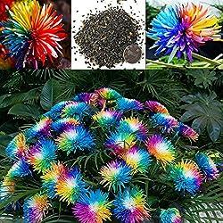 20 Teile/beutel Regenbogen Chrysantheme Samen, Bunte Miniatur Baum Blume Pflanzensamen Blumen Hausgarten Einfach Wachsen Blumensamen