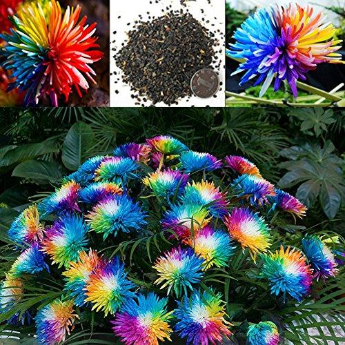 20 Teile/beutel Regenbogen Chrysantheme Samen, Bunte Miniatur Baum Blume Pflanzensamen Blumen Hausgarten Einfach Wachsen Blumensamen (Bunte Garten-blumen)