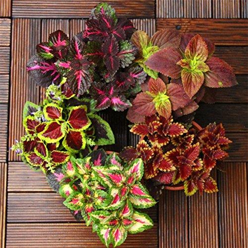 Doubleer Coloré Feuille Graines Ornementales Graines De Plantes Jardin Paysage Décor Organique Bonsaï