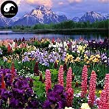 PLAT FIRM KEIM SEEDS: 60pcs: Kaufen Lupine Blumensamen Pflanzengarten Blumen Lupiuns Polyphyllus