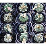 Astrophytum asterias Seeds Pack of 20 seeds