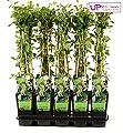 Blumen-Senf Geißblatt von Blumen Senf - Du und dein Garten