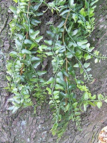 Künstliche Hängepflanze Boston Farn ca. 70cm Spitzen-Qualität Neu im Programm