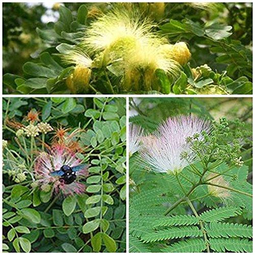 Albizia set, 3 varieties, sleep Exotic plants for your garden, 20 graines