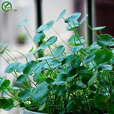 Semi di erba rame Ufficio semi scrivania invasatura Bonsai piante Semi erba giardino Semi Annual Herb 100 particelle molto T017
