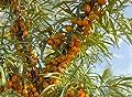 3 Stck. Hippophae rhamnoides 'Friesdorfer Orange' - (Selbstbefruchtender Sanddorn 'Friesdorfer Orange')- Containerware 40-60 cm von Pflanzen-Discounter24.de auf Du und dein Garten