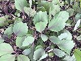 Rotkohl, Rotkohl Pflanzen im 12er Set