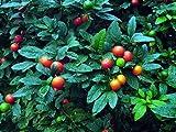 30 + GERUSALEMME ciliegio (Solanum Pseudocapsicum) semi/XMAS ciliegia, Alchechengi