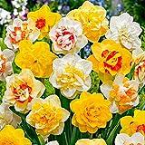 Woodland bulbs® 50 x Daffodil Bulbs 'Double Mixed' Spring Flowering Bulbs (Free UK P&P)