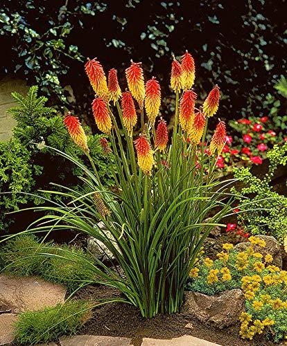 Yukio Samenhaus - 50pcs Selten Fackellilie \'Grandiflora\' exotische pflanzen Blumensamen mehrjährig winterhart in Töpfe, Schalen und Kübeln