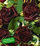 BALDUR-Garten Edelrosen 'Black Baccar...
