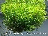 Proximus_N1 Plante flottante Riccia fluitans