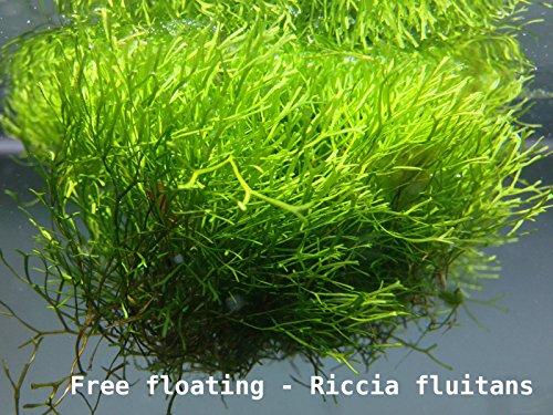 proximus-n1-plante-flottante-riccia-fluitans