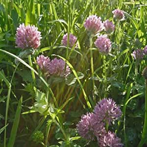 Wildflower - Wild Red Clover - 3000 Seeds